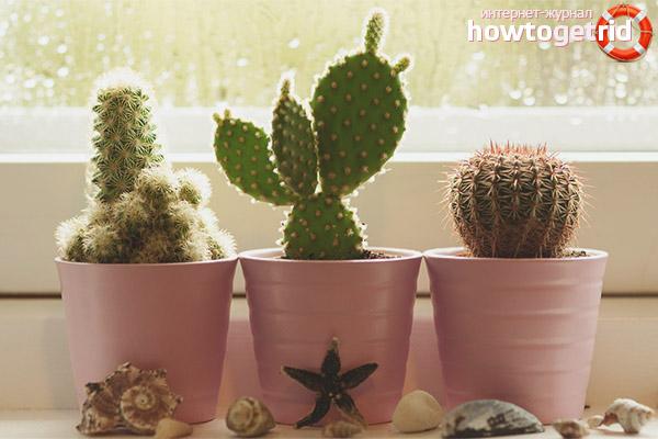 Приметы, связанные с кактусом в квартире