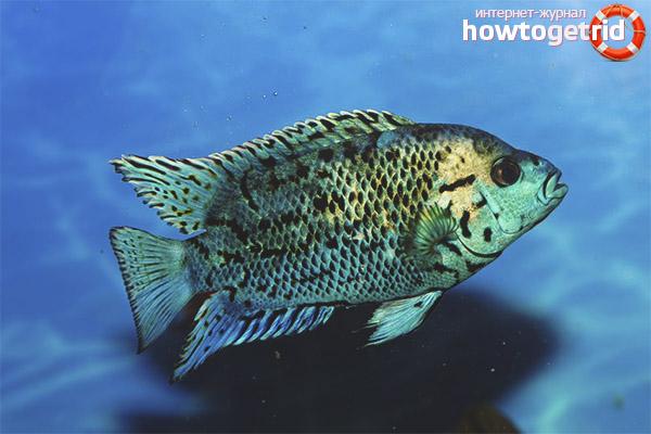 Разведение рыбки блю демпси