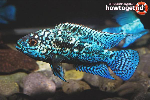 Содержание рыбки блю демпси
