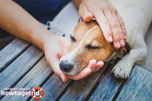 Типы и течение заболевания чумкой у собак
