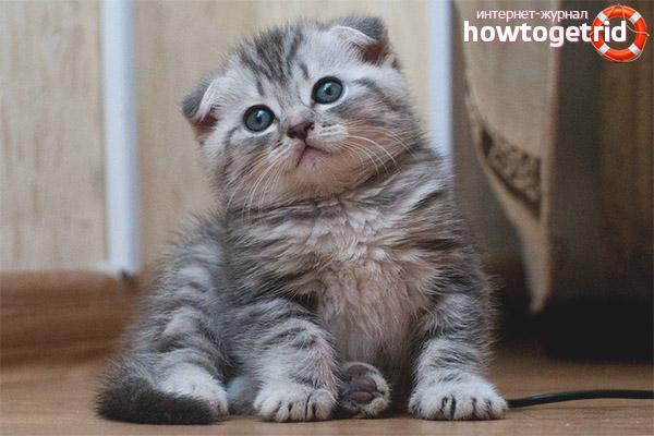 Уход за шотландскими вислоухими котятами