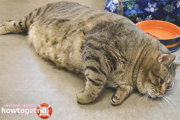 В чем опасность ожирения для котов