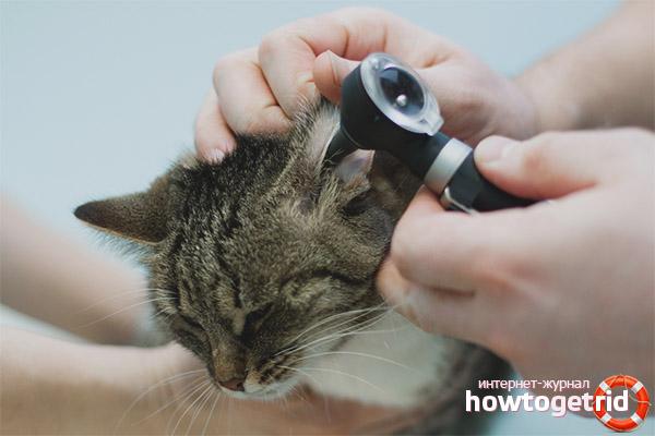 Воспаление уха у котов