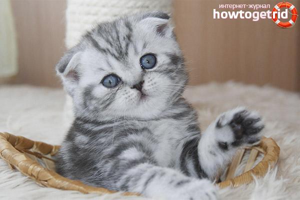 Воспитание шотландских вислоухих котят