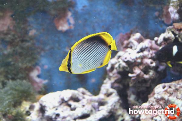 Аквариумная рыба-бабочка