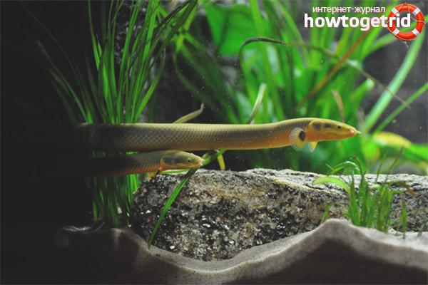 Аквариумная рыба каламоихт калабарский