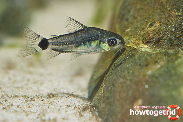 Аквариумная рыбка коридорас-пигмей