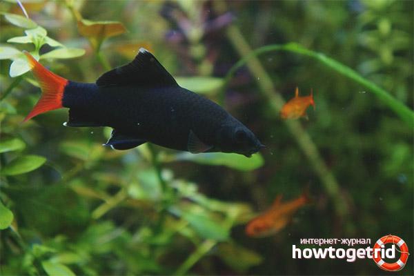 Аквариумная рыбка лабео двухцветный