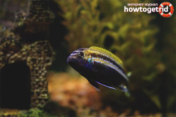 Аквариумная рыбка меланохромис ауратус