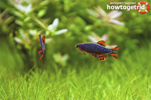Аквариумная рыбка микрорасбора галактика