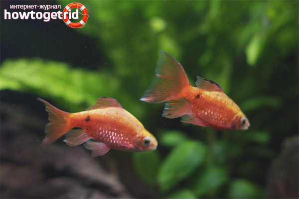 Аквариумная рыбка огненный барбус