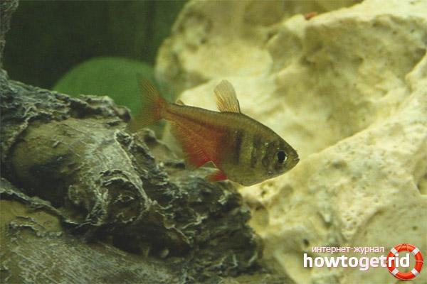 Аквариумная рыбка тетра фон рио