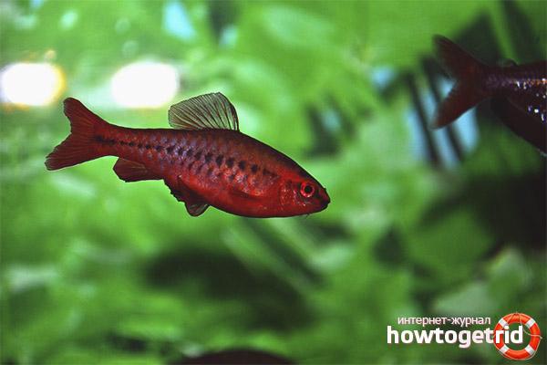 Аквариумная рыбка вишневый барбус