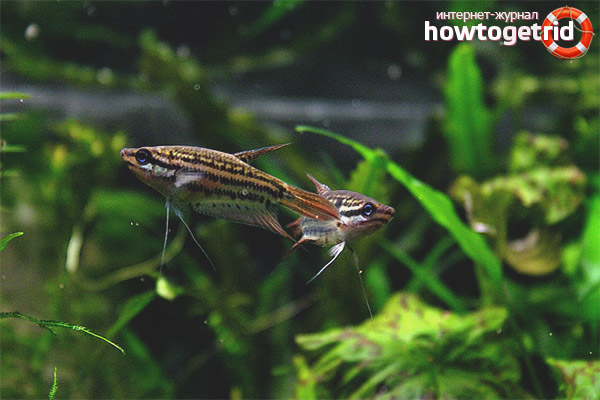 Аквариумная рыбка ворчащий гурами