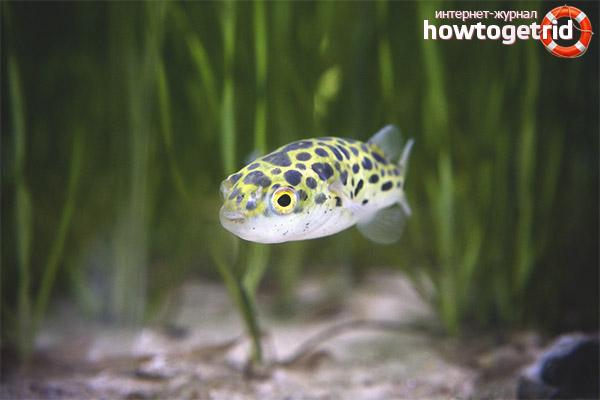 Аквариумная рыбка зеленый тетрадон