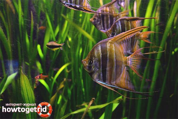 Аквариумные рыбки скалярии