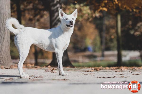 Характер ханаанской собаки