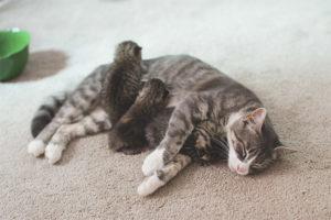 Как понять, что кошка родила всех котят