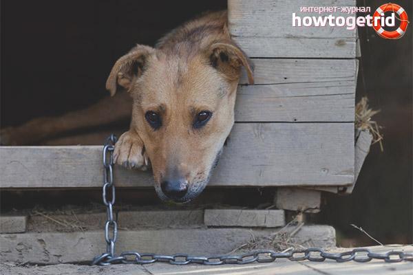 Как приучить собаку к цепи и будке