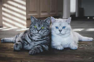 Какую породу кошек выбрать для квартиры