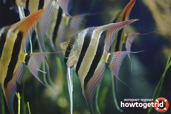 Кормление рыбок скалярий