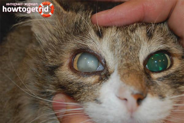 Мутный глаз у кошки