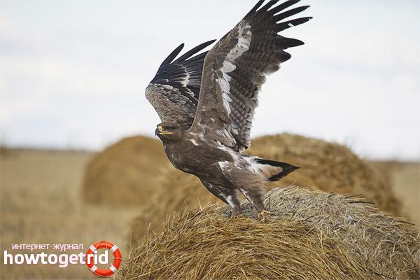 Особенности гнездовья степного орла