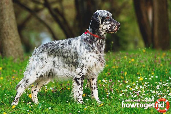 Порода собак английский сеттер