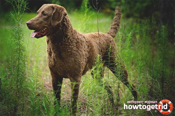 Порода собак чесапик бей ретривер