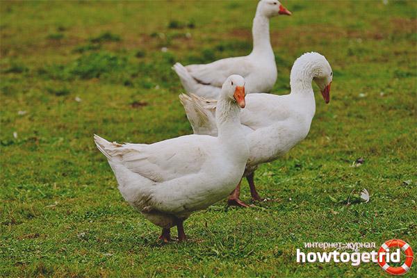Размножение белого гуся