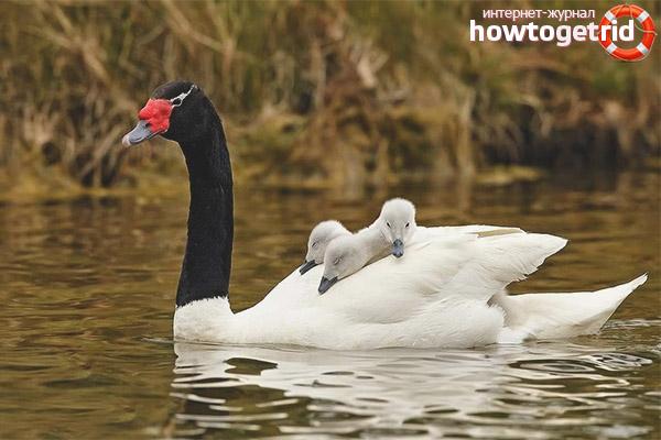 Размножение черношейного лебедя
