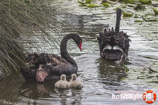 Размножение черных лебедей