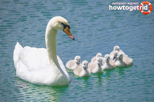 Размножение и образ жизни лебедя шипуна