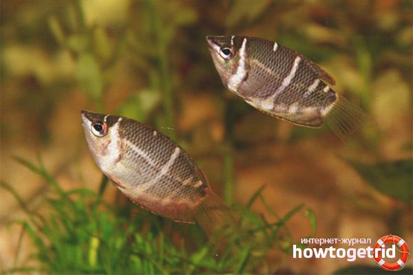 Размножение рыбок шоколадный гурами
