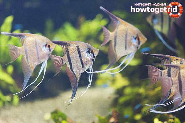 Размножение рыбок скалярий