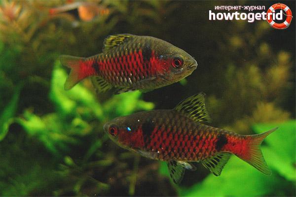 Разновидность барбаруса с красной полосой