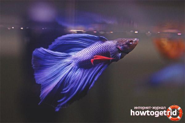Содержание аквариумных рыбок петушок