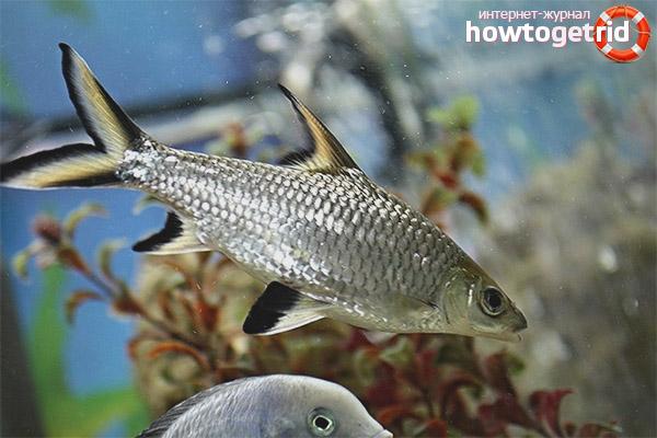 Содержание рыбки акулий балу