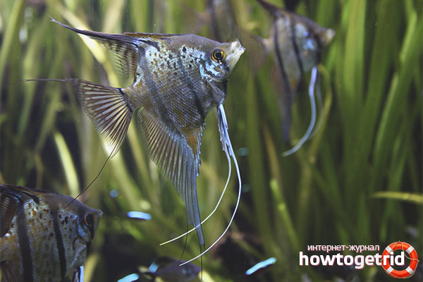 Совместимость рыбок скалярий