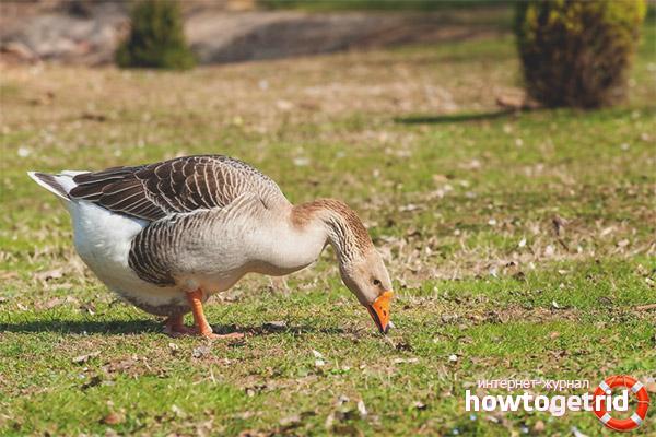 Создание условий для обитания серых гусей