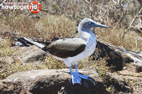 Среда обитания голубоногой олуши