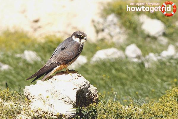 Среда обитания птицы чеглок