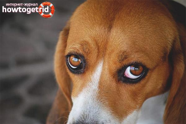 У собаки красные белки глаз