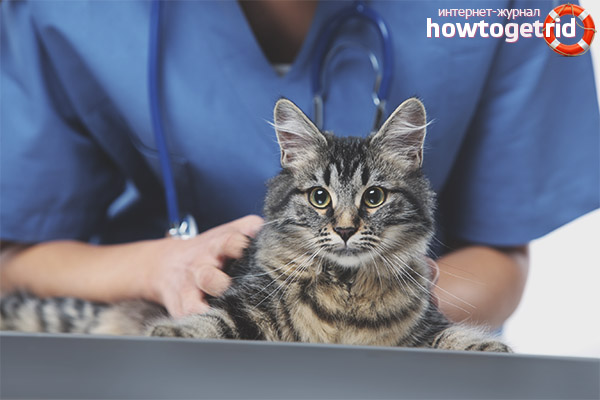 Во сколько месяцев можно кастрировать кота