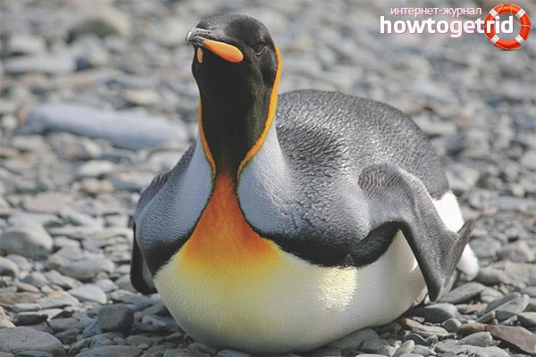 Образ жизни королевского пингвина