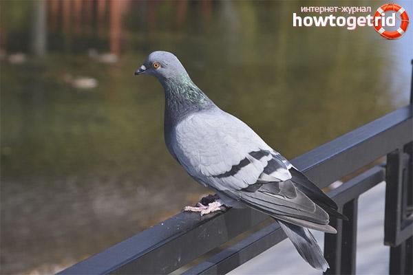 Образ жизни сизого голубя