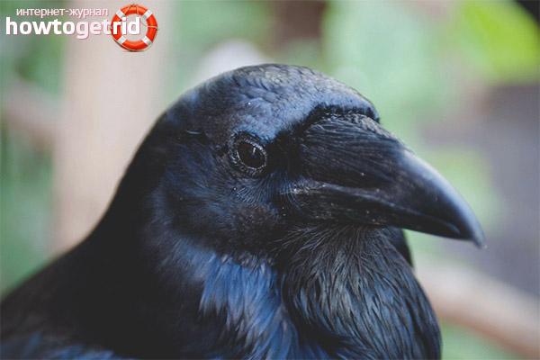 Описание ворона