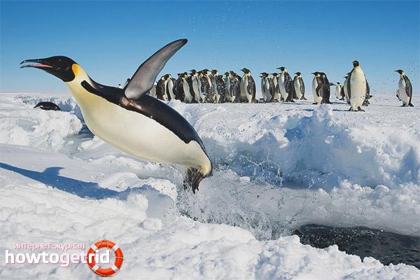 Особенности поведения императорских пингвинов