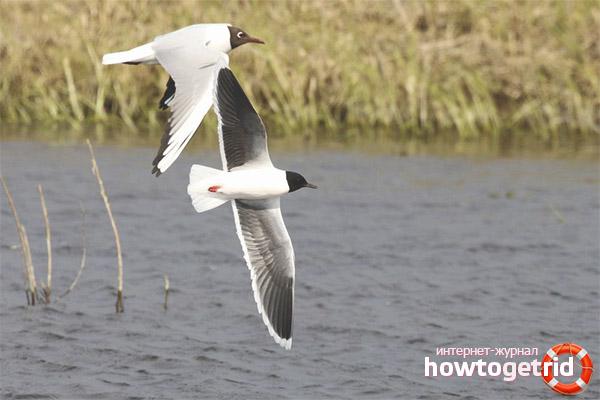 Особенности размножения и гнездования малой чайки