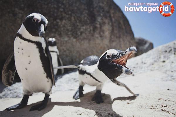 Особенности размножения очкового пингвина